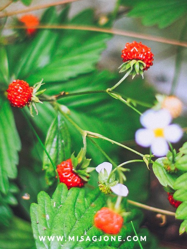Summer in Norway – the berries and chanterelles heaven