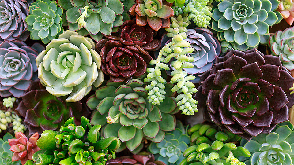 Fact Friday – Succulents