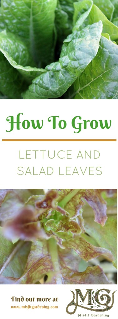 Growing lettuce and cut and come again salad leaves is incredibly rewarding and so easy to do! Click to find out how to grow lettuce and how to grow salad leaves or pin it and save it for later.