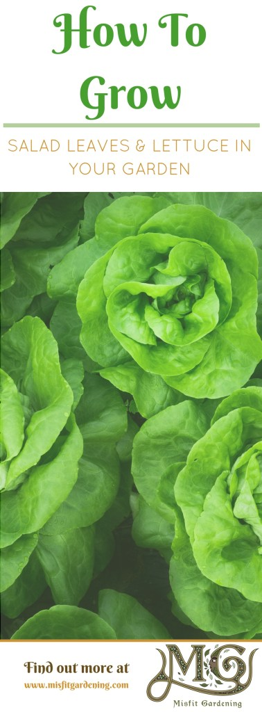 How to grow organic salad leaves and organic lettuce in your very own backyard. Click to find out how to grow or pin it to save this post for later