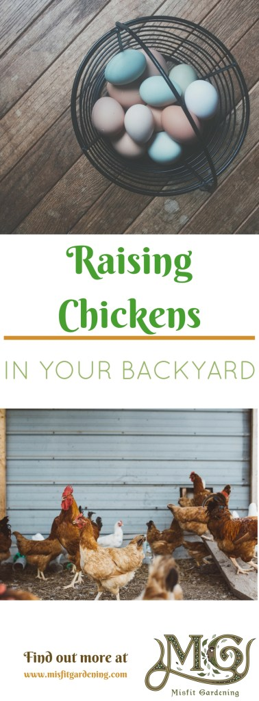 How to raise chickens in your backyard from baby chicks and start your homesteading journey. Click to find out how to raise chickens or pin it and save for later