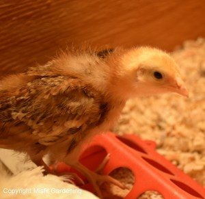 Rhode Island Red Chick