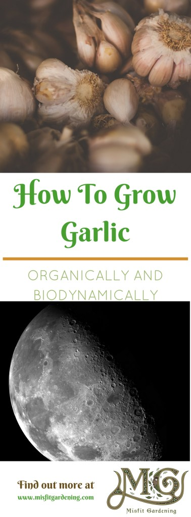 Growing garlic organically and biodynamically. Click to find out how to grow or pin it and save this post for later
