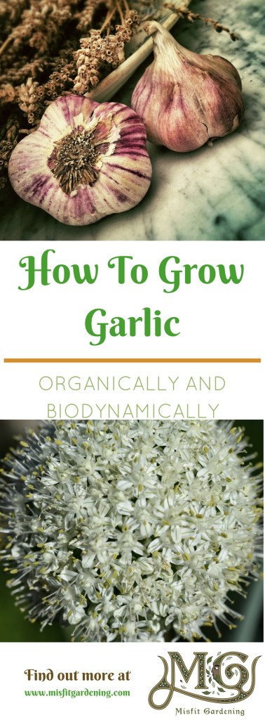 How to grow garlic organically and biodynamically. Click to find out more or pin it for later