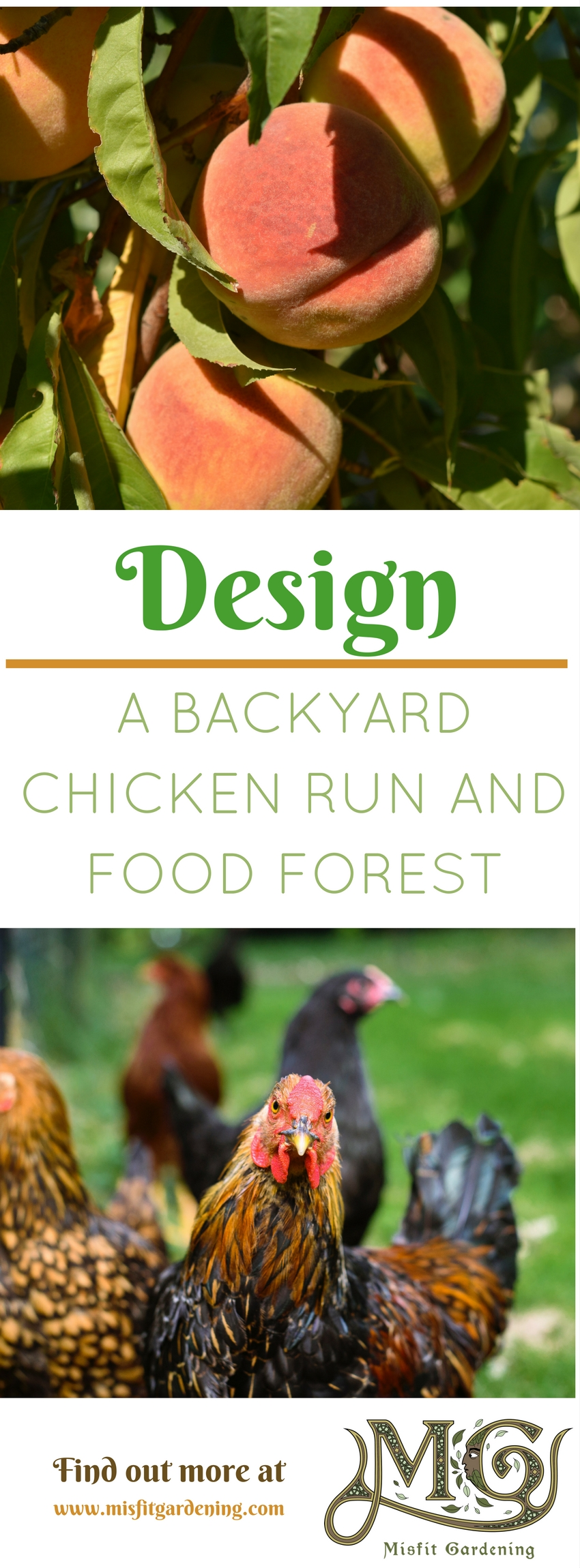 I'm creating a backyard food forest in my chicken yard. Click to find out how or pin it for later