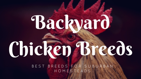 Best Backyard Chicken Breeds For Suburban Homesteads