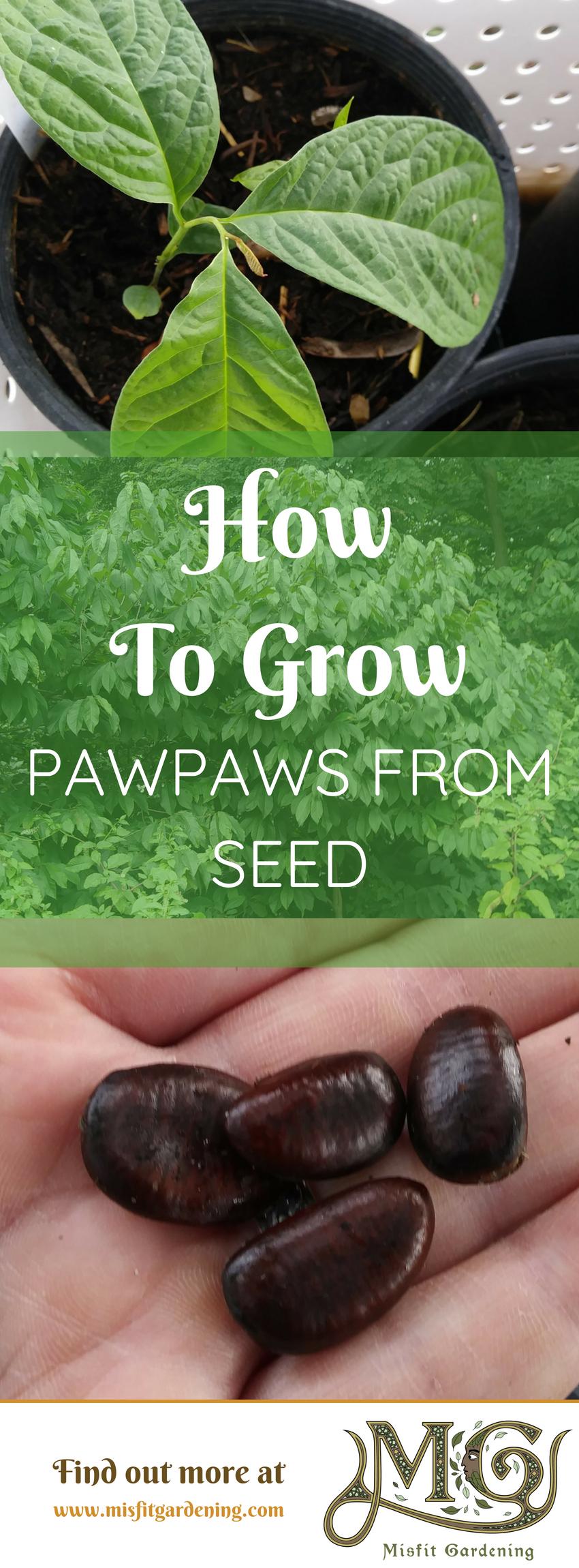 Pawpaws sind eine großartige Frucht, um in einem Hinterhofnahrungswald zu wachsen. Klicken Sie hier, um zu lernen, wie man Pfoten aus Samen oder Stift für später wachsen lässt