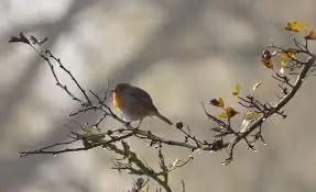 pettirosso nella tradizione cock robin