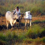 Nepal Mission Agriculture-pluging-from-buffalo AGRO TOURISM IN NEPAL