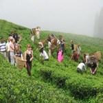 Nepal Mission Tea-garden-Nepal AGRO TOURISM IN NEPAL