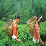 Nepal Mission Green-tea-from-Nepal HIGH ALTITUDE GREEN TEA
