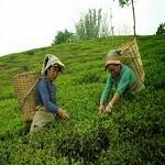 Nepal Mission Nepali-green-tea-is-plucking HIGH ALTITUDE GREEN TEA
