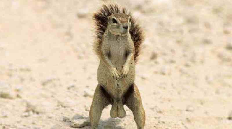 scroto di scoiattolo