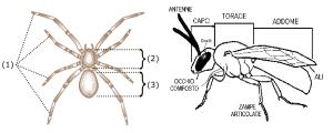 Morfologia insetto e ragno