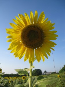 sunflower_by_ajjoelle_via_morguefile