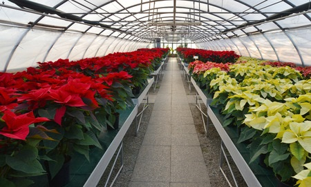 Flash-fiction: Poinsettias
