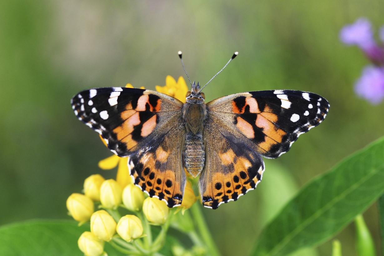 Native Butterflies And Moths Missoula Insectarium