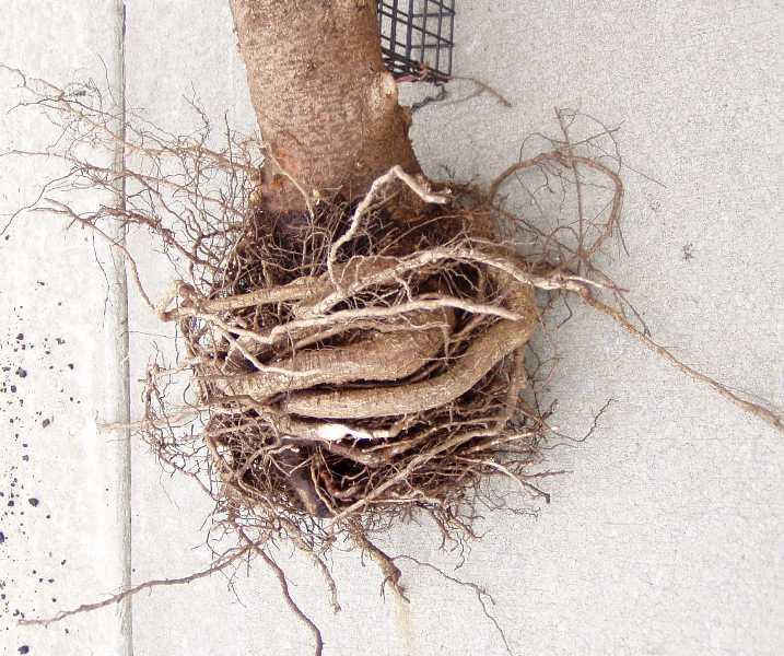 Alberta Mites Dwarf Spider Spruce