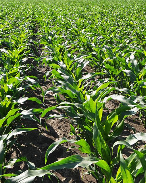 Hybrid Field Corn