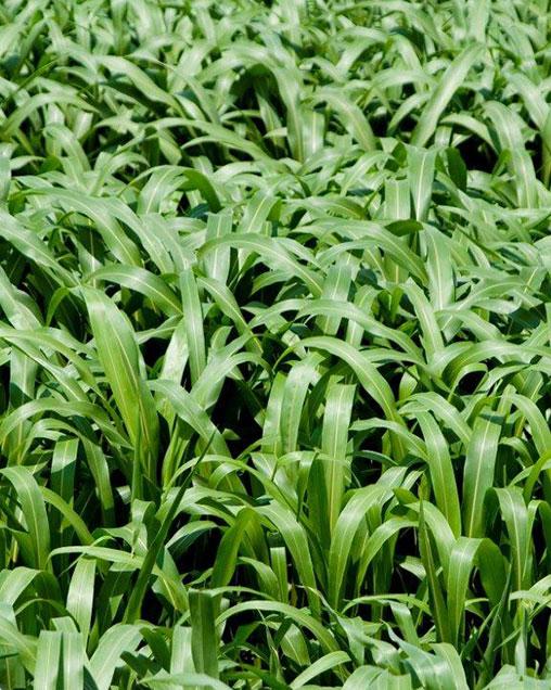 Surpass BMR6 Sorghum Sudangrass