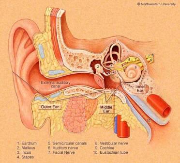 Ear internals