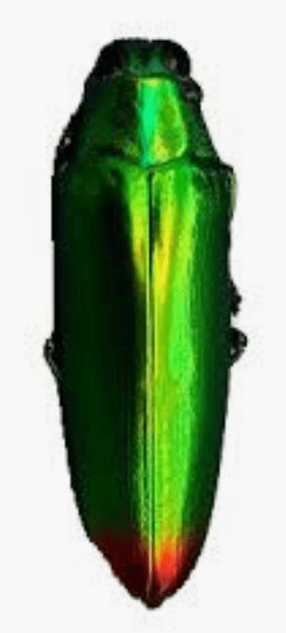 SAMBERLILIN