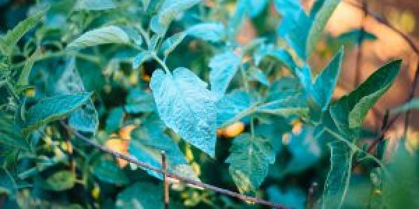 Πώς χρησιμοποιούμε τη θειοχαλκίνη στα φυτά