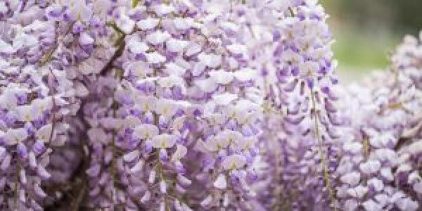 Γλυσίνα, αναρριχώμενο φυτό με κρεμαστά άνθη