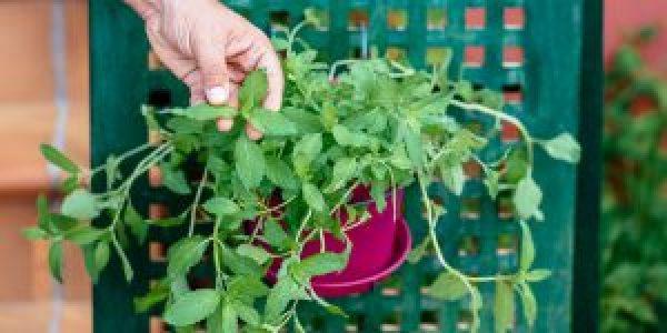 Καλλιέργεια μέντας σε γλάστρα
