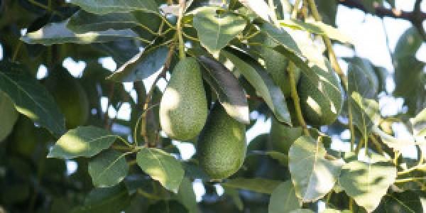 9 μυστικά για την καλλιέργεια του αβοκάντο