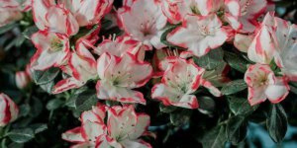 7 μυστικά για τη φροντίδα της αζαλέας