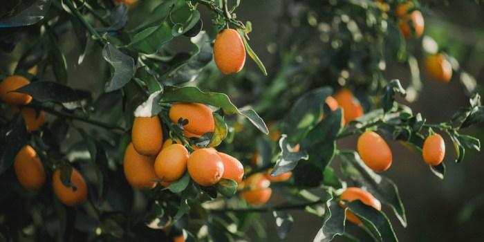 Καλλιέργεια κουμκουάτ σε κήπο και σε γλάστρα   Τα Μυστικά του Κήπου