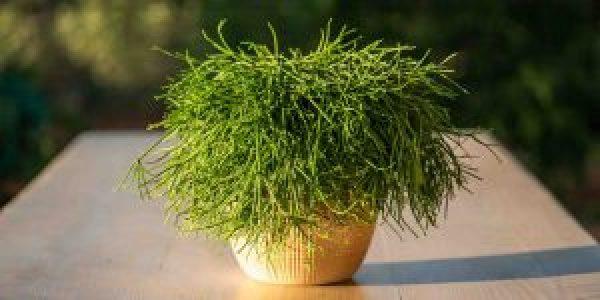 Ριψαλίς, ένα τροπικό φυτό εσωτερικού χώρου