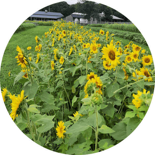 Sunflower Picking at Misty Meadow