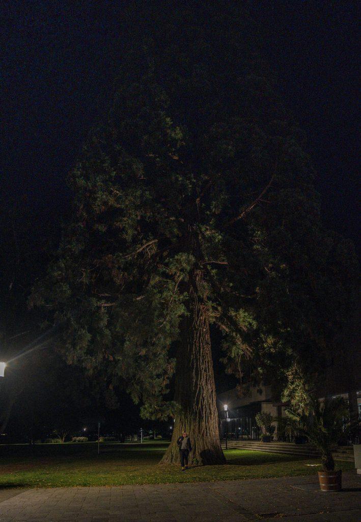 Bodman - Mammutbaum