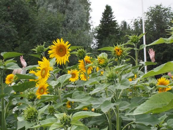 Tredje pris i temat hälsa. Motivering: En rolig komposition med en glad hälsning bakom de hälsosamma och granna solrosorna.