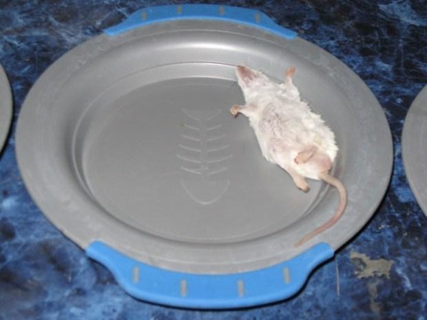 Dead mouse closeup