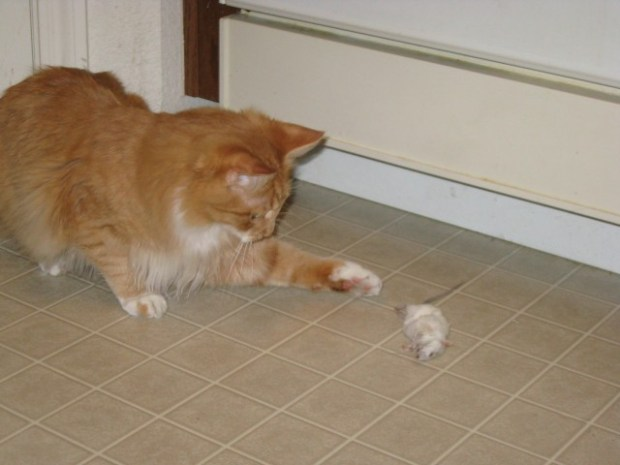 Wilbur pawing his mouse