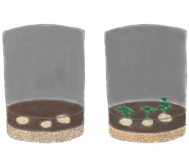Lina hat drie Kartoffeln in die Erde gesteckt, aus denen kleine Pflänzchen gewachsen sind.