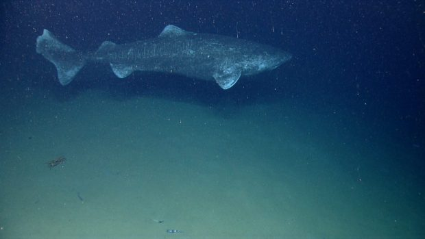 """Die Aufname stammt vom """"NOAA Okeanos So sah Linas Grönlandhai aus. Explorer Program, 2013 Northeast U.S. Canyons Expedition"""": In the last couple minutes of the last dive of the field season we found the largest fish we have ever encountered with the ROV, a Greenland Shark."""