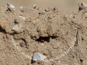 Die Blutbiene <em>Sphecodes albilabris</em> untersucht hier ein Nest.