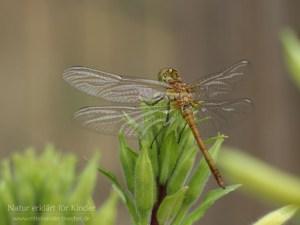 Libelle frisch geschlüpft