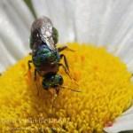 Es giltzert auf der Blüte – Die Goldwespe