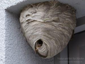Das Nest wächst weiter - Die Mittlere Wespe