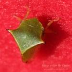 Ein dreieckiges Insekt mit Buckel - die Büffelzikade