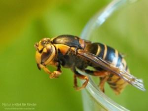 Was machen Wespen im Winter? - Teil 2