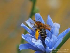 Püschel an der Beinen - Die Hosenbiene