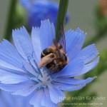 Wie Hosenbienen Pollen sammeln