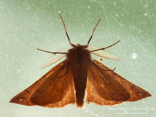 Insekten im Herbst - Der Federfühler-Herbstspanner