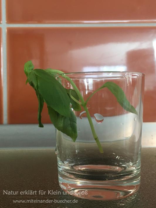 Warum entfaltet sich die Seerose? - Ein Experiment mit Wasser